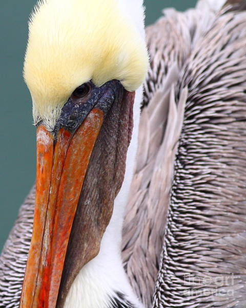 Photograph - Brown Pelican . 7d8296 by Wingsdomain Art and Photography