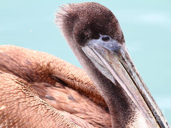 Photograph - Brown Pelican . 7d8327 by Wingsdomain Art and Photography