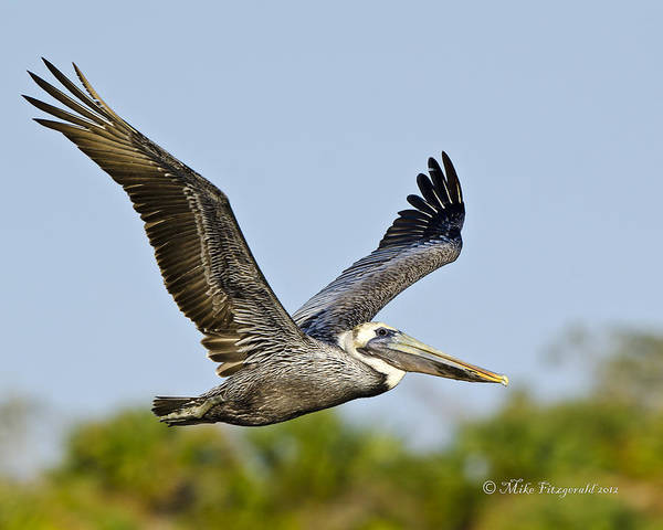 Photograph - Brown Pelican Flight by Mike Fitzgerald
