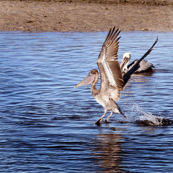 Ding Photograph - Brown Pelican  by Joseph G Holland