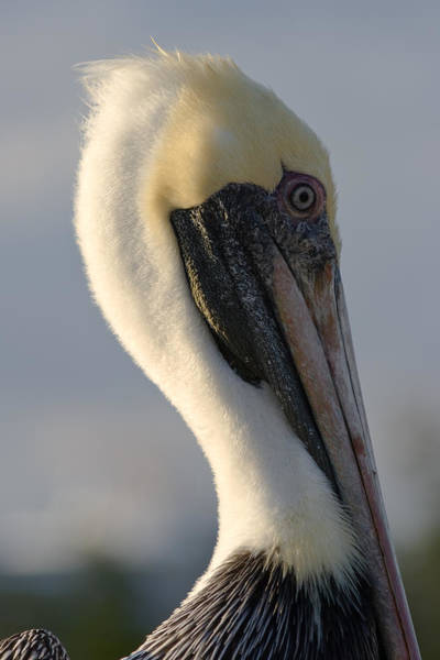 Photograph - Brown Pelican Profile by Ed Gleichman