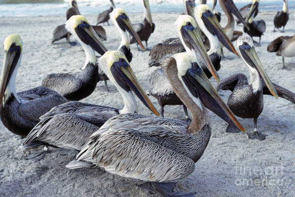 Photograph - Brown Pelicans On Beach by Thomas R Fletcher