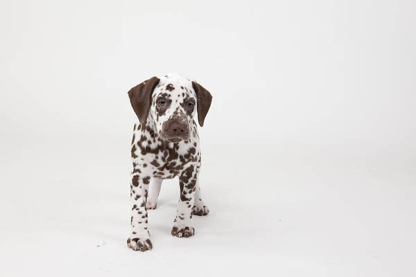 Dalmatian Dog Photograph - Brown-spotted Dalmatian Puppy by Debra Bardowicks