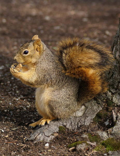 Photograph - Brown Squirrel At Riverfront Park by Ben Upham III