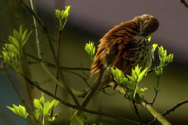 Photograph - Brown Thrasher 2 by Albert Seger