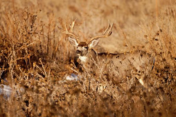 Photograph - Brush Buck by D Robert Franz