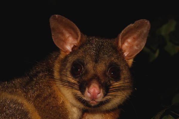 Wall Art - Photograph - Brush-tailed Possum by Bruce J Robinson