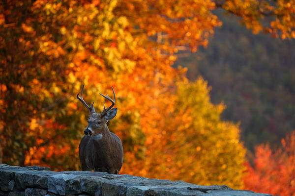 Photograph - Buck In The Fall 03 by Metro DC Photography