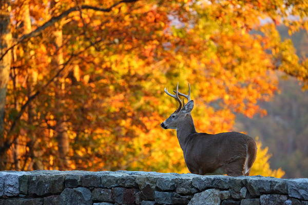 Photograph - Buck In The Fall 05 by Metro DC Photography
