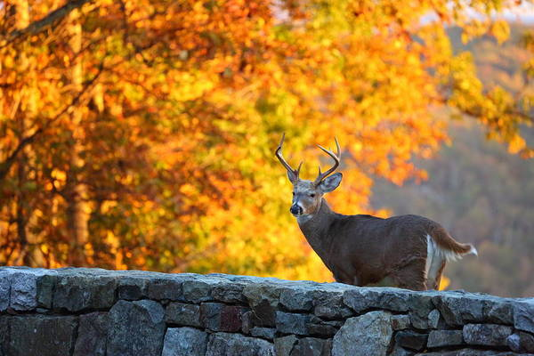 Photograph - Buck In The Fall 07 by Metro DC Photography