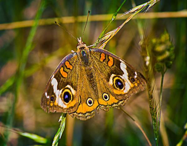 Photograph - Buckeye Butterfly by Barry Jones