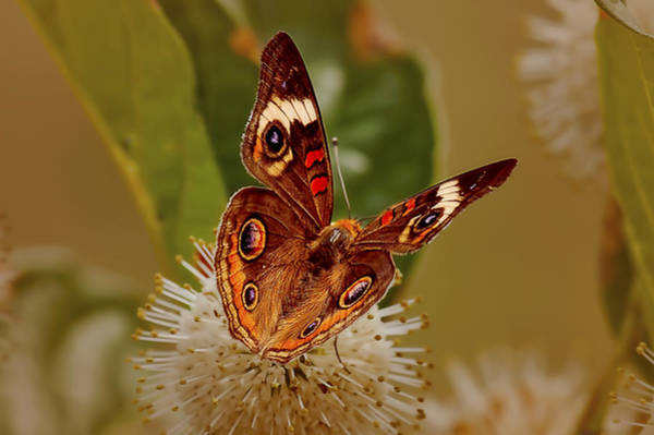 Photograph - Buckeye Butterfly by Patricia Montgomery
