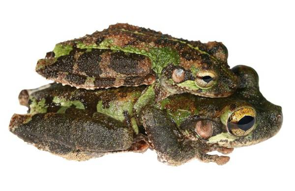Laying Out Photograph - Buckley Bonehead Frogs Mating by Dr Morley Read