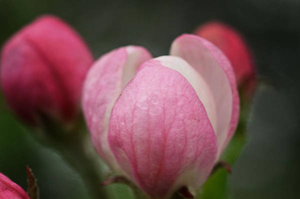 Apple Blossom Photograph - Budding Beauties by Susan Capuano