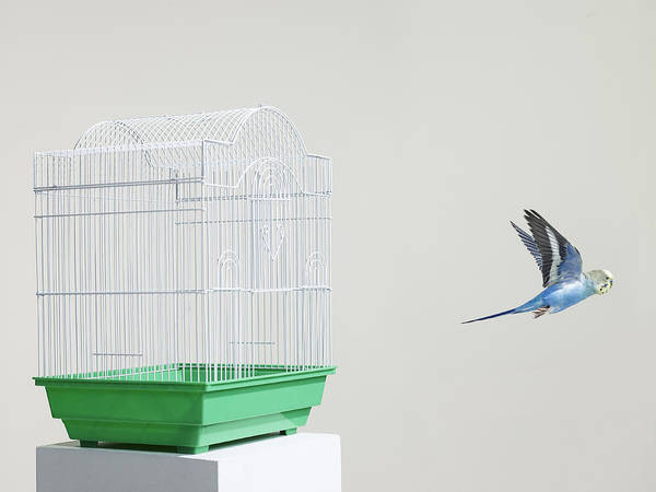 Birdcage Photograph - Budgie Escaping From A Cage by Walker and Walker