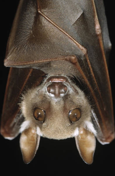 Photograph - Buettikofers Epauletted Bat Epomops by Ingo Arndt