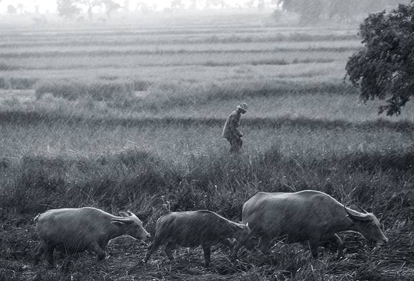 Monsoon Photograph - Buffalo And Monsoon Rain by Anonymous