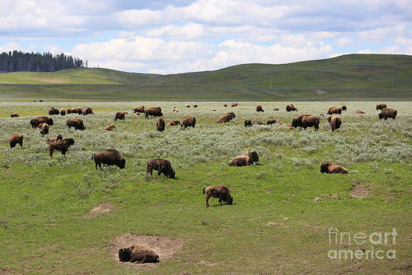 Photograph - Buffalo Herd by Carol Groenen