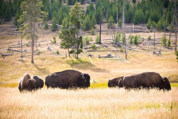 Photograph - Buffalo In Golden Grass by Cindy Singleton
