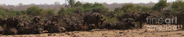 Photograph - buffalos of Chobe by Mareko Marciniak