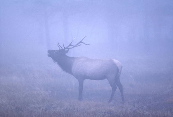 Photograph - Bugling Elk by Craig Ratcliffe
