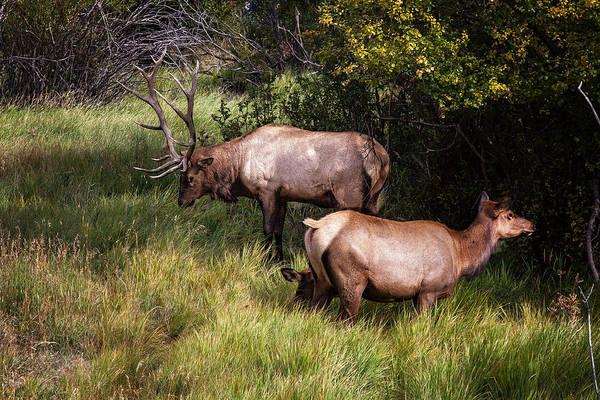 Bull Elk 7x7 Art Print