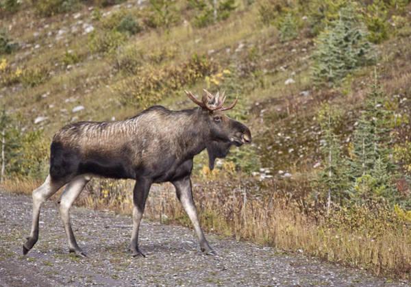 Rockies Digital Art - Bull Moose Alberta by Mark Duffy