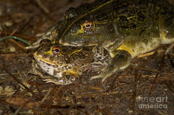Photograph - Bullfrogs by Mareko Marciniak