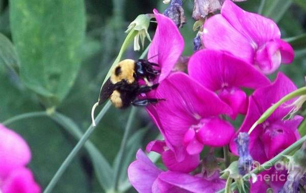 Photograph - Bumble Bee by Charles Robinson