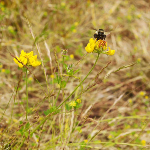 Photograph - Bumble Bee On Yellow Flower by Belinda Greb
