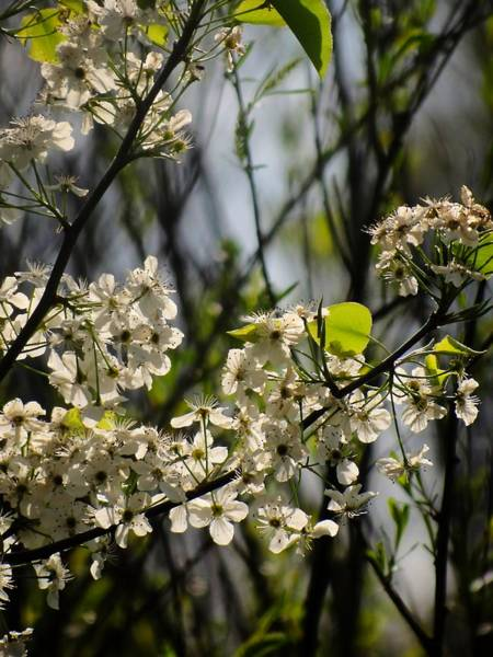 Photograph - Burbank Pear Blossoms by Beth Akerman