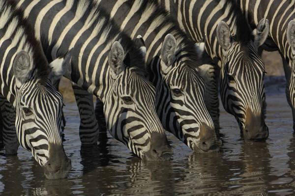 Photograph - Burchells Zebra Equus Burchellii Herd by Pete Oxford