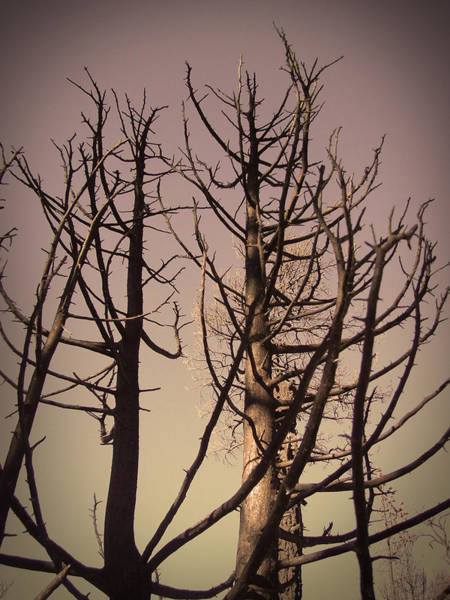 Death Valley Photograph - Burned Trees 3 by Naxart Studio