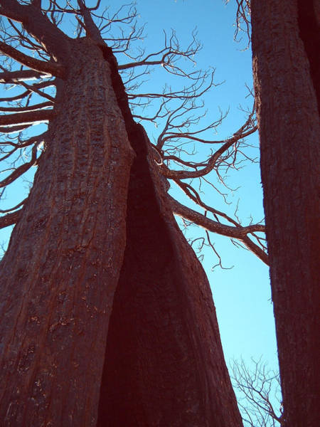 Death Valley Photograph - Burned Trees 6 by Naxart Studio