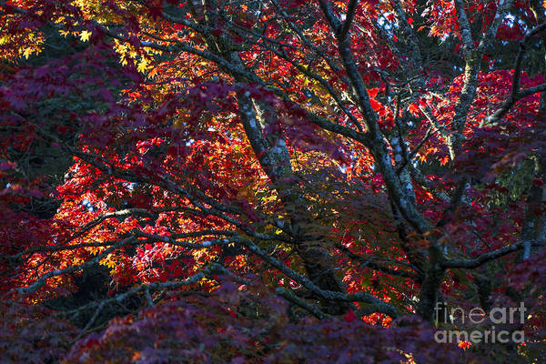 Photograph - Burning Autumn Colours. by Clare Bambers