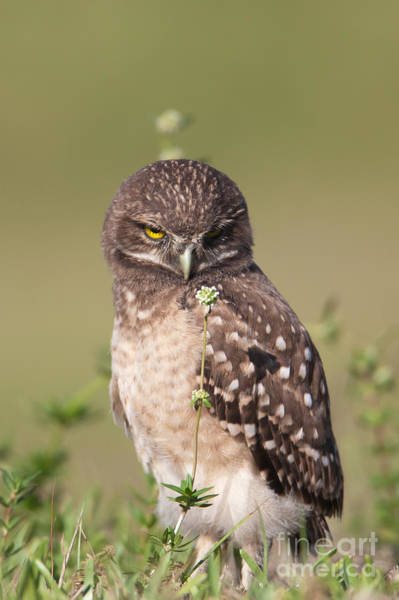 Photograph - Burrowing Owl Fledgling IIi by Clarence Holmes
