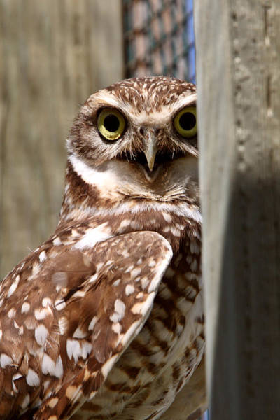 Wildlife Refuge Digital Art - Burrowing Owl On Enclosed Window Seal by Mark Duffy