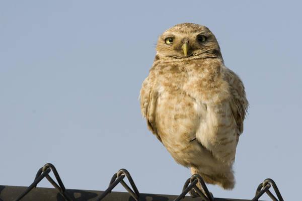 Alviso Photograph - Burrowing Owl On Fence Alviso California by Sebastian Kennerknecht