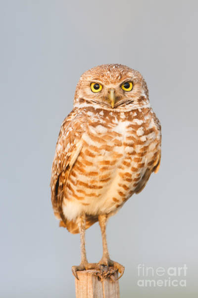 Photograph - Burrowing Owl V by Clarence Holmes