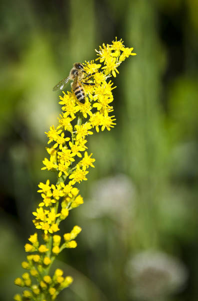 Photograph - Busy Bee On Yellow Wildflower by Carolyn Marshall