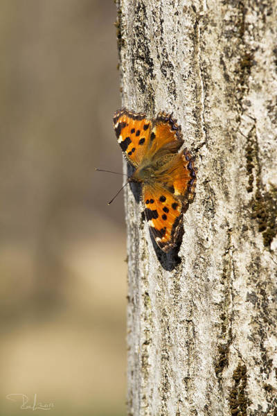 Photograph - Butterfly 01 by Raffaella Lunelli