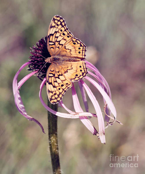 Photograph - Butterfly And Coneflower by Pam  Holdsworth