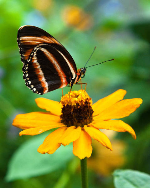 Photograph - Butterfly And Flower by Dennis Dame
