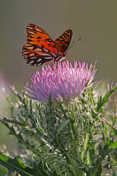 Photograph - Butterfly And Thistle by Juergen Roth