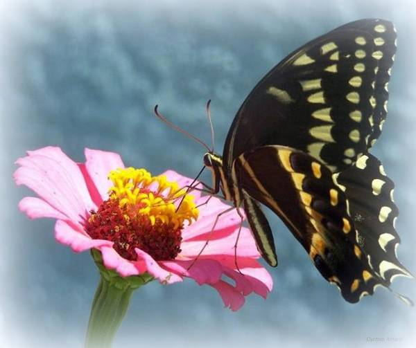 Art Print featuring the photograph Butterfly by Cynthia Amaral