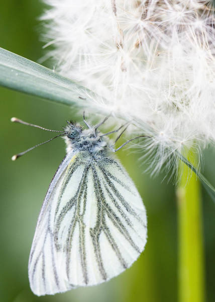Blume Photograph - Butterfly Dandelion by Falko Follert