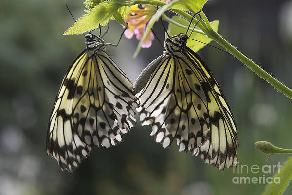 Wall Art - Photograph - Butterfly Duo by Eunice Gibb
