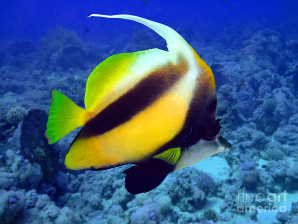 Wall Art - Photograph - Butterfly Fish by MotHaiBaPhoto Prints