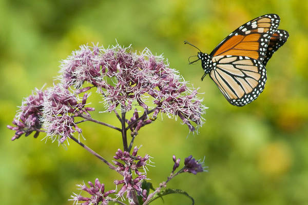 Photograph - Butterfly Landing by Craig Leaper