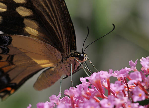 Photograph - Butterfly Macro by Juergen Roth